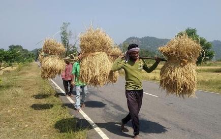 Farm workers take home bundles of harvested paddy in Malkangiri, Odisha