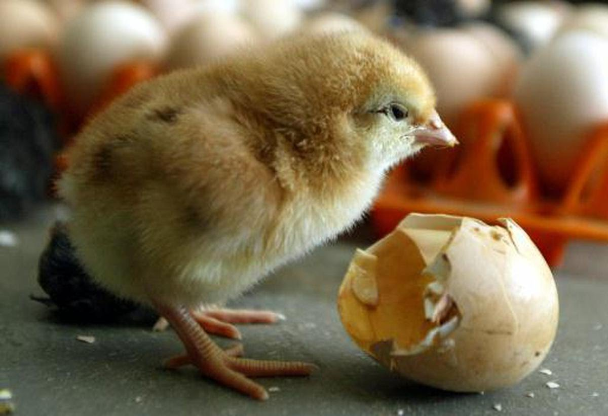 A chick is seen inside a poultry farm in India. Photo for representational purpose.